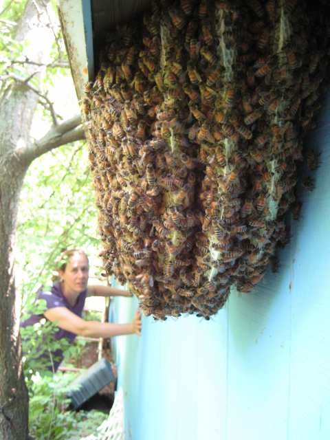 Bees overflowing from shed walls